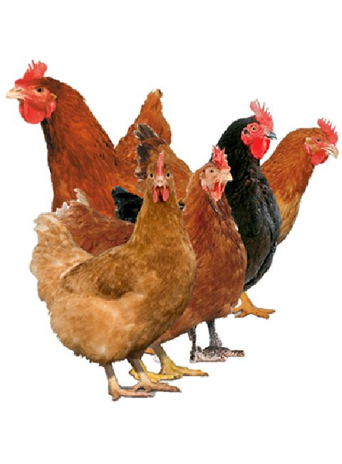 Image Gallery hubbard chickens